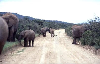 suedafrika-addo-elephanten