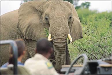suedafrika-mashatu-pirschfahrt-elephant