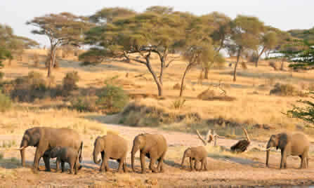 tansania-tarangire-elelphanten
