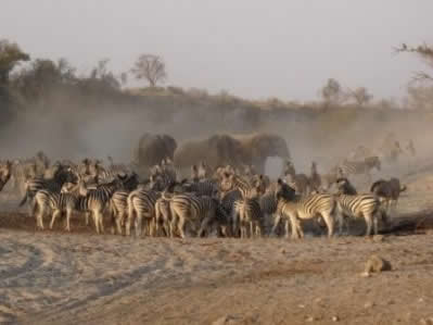 botswana-zebras-eli